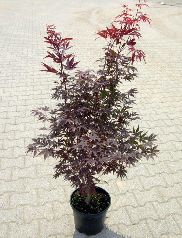 Acer palmatum fire glow aceri di omate for Acero rosso giapponese