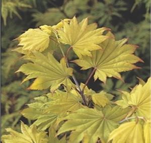 Shirasawanum Aureum