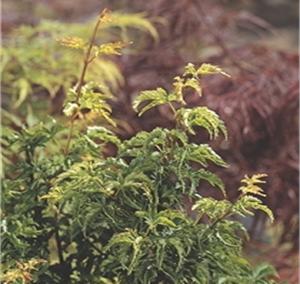 Shishigashira Crispi